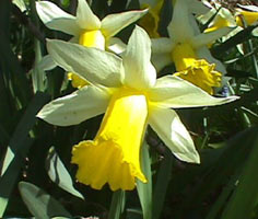 Leek and Daffodil - national emblems of Wales